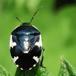 Spættet Tornben (Tritomegas bicolor)