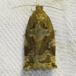 Brun Egevikler (Archips xylosteana)