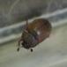 Pocadius ferrugineus (Pocadius ferrugineus)