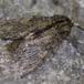 Egetandspinder (Peridea anceps)
