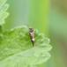 Eriocrania sp. (Eriocrania sp.)