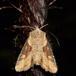 Slange-Stængelugle (Lateroligia ophiogramma)