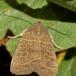 Skov-Spidsugle (Ipimorpha subtusa)