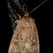 Graphiphora augur (Graphiphora augur)