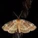 Gråbæltet Uglespinder (Tetheella fluctuosa)