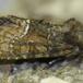 Oligia sp. (Oligia sp.)