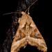 Agatugle (Phlogophora meticulosa)