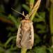 Hvidrandet Jordugle (Ochropleura plecta)