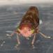 Populicerus laminatus (Populicerus laminatus)