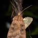Rhombe-Glansugle (Xestia stigmatica)