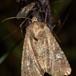 Mesapamea sp. (Mesapamea sp.)