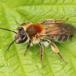 Æblejordbi (Andrena helvola)